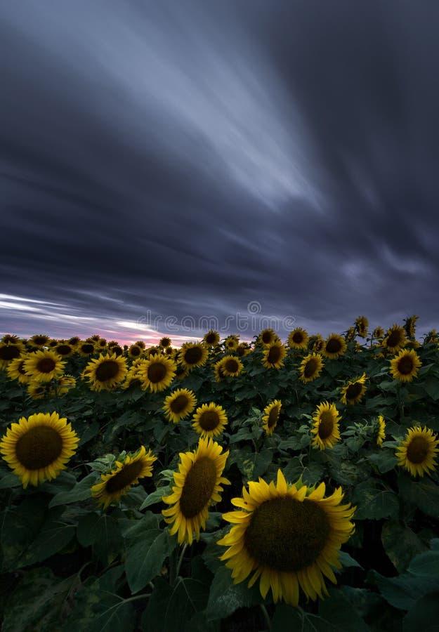 Solrosf?lt under dramatisk m?rk himmel och vibrerande r?d solnedg?ng med flyttningmoln royaltyfria bilder