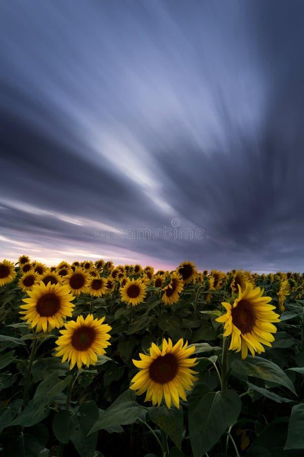 Solrosf?lt under dramatisk m?rk himmel och vibrerande r?d solnedg?ng med flyttningmoln arkivfoton