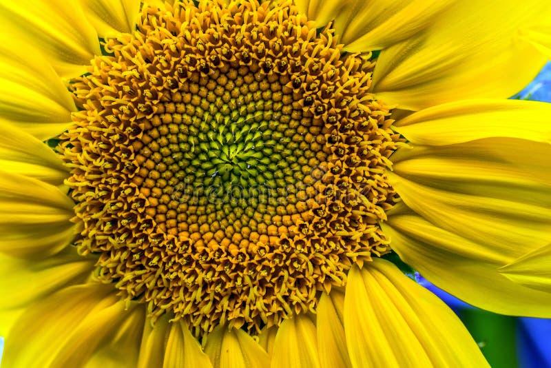 Solrosfrukt arkivfoton