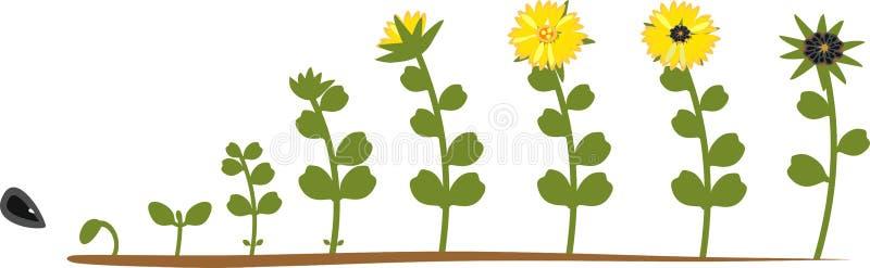 Solroslivcirkulering Tillväxtetapper från att kärna ur till att blomma och den fruktbärande växten vektor illustrationer