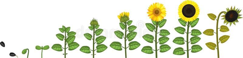 Solroslivcirkulering Tillväxtetapper från kärnar ur till att blomma och den fruktbärande växten stock illustrationer