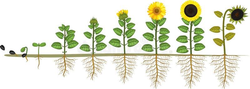 Solroslivcirkulering Tillväxtetapper från kärnar ur till att blomma, och den fruktbärande växten med rotar systemet stock illustrationer
