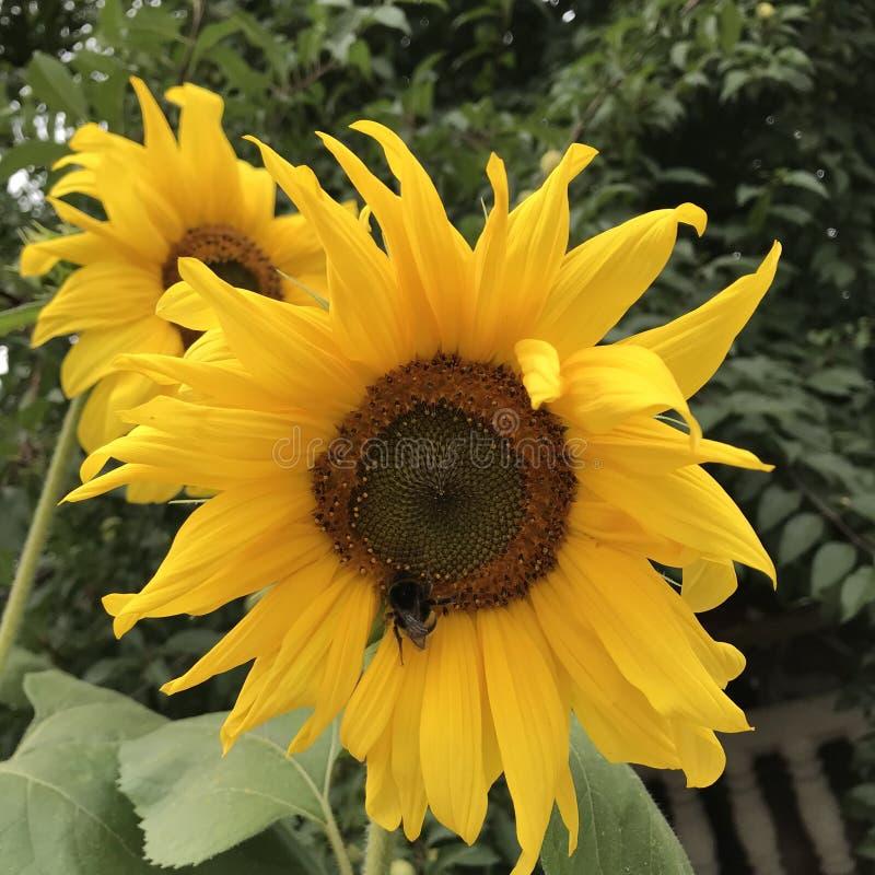 Solrosor är ett symbol av Kyiv och Ukraina - GULD royaltyfri fotografi