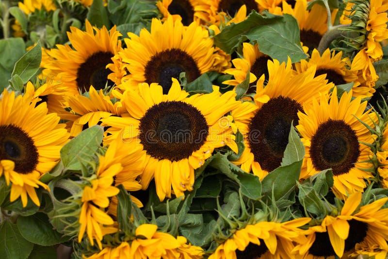 solrosor royaltyfri bild