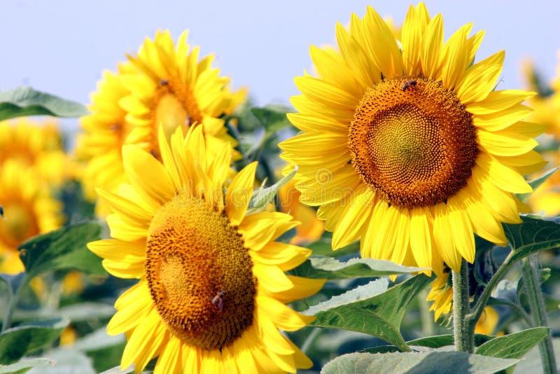 Download Solrosor fotografering för bildbyråer. Bild av cirkulering - 979399
