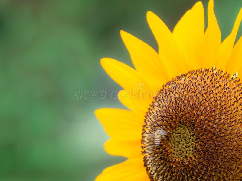 Solrosor blommar i trädgården av sommarsäsongen royaltyfria foton