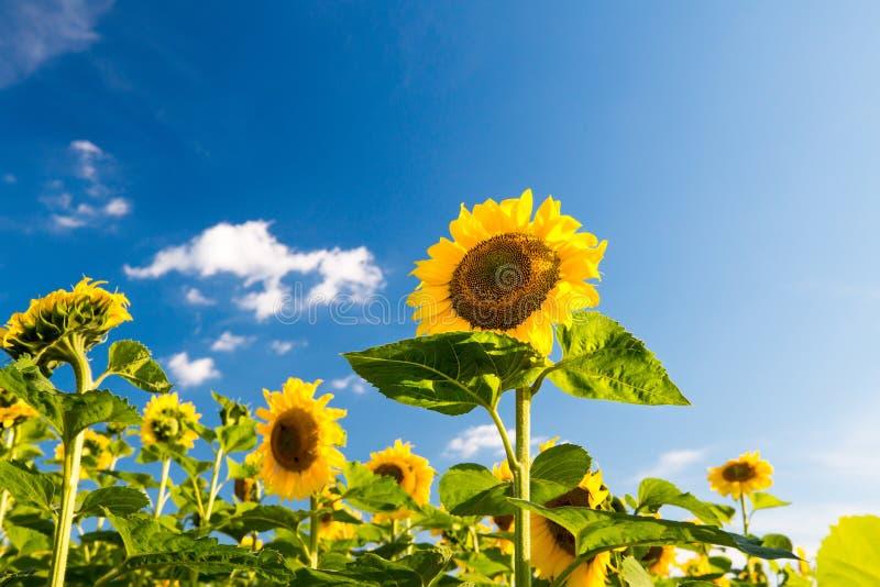 solrosor för blå sky för bakgrund arkivbilder
