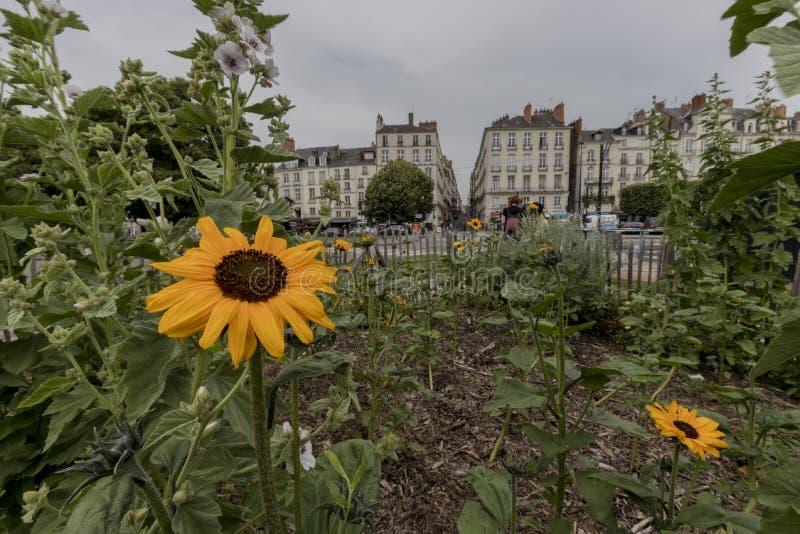 Solrosor i en trädgård av Nantes royaltyfria bilder