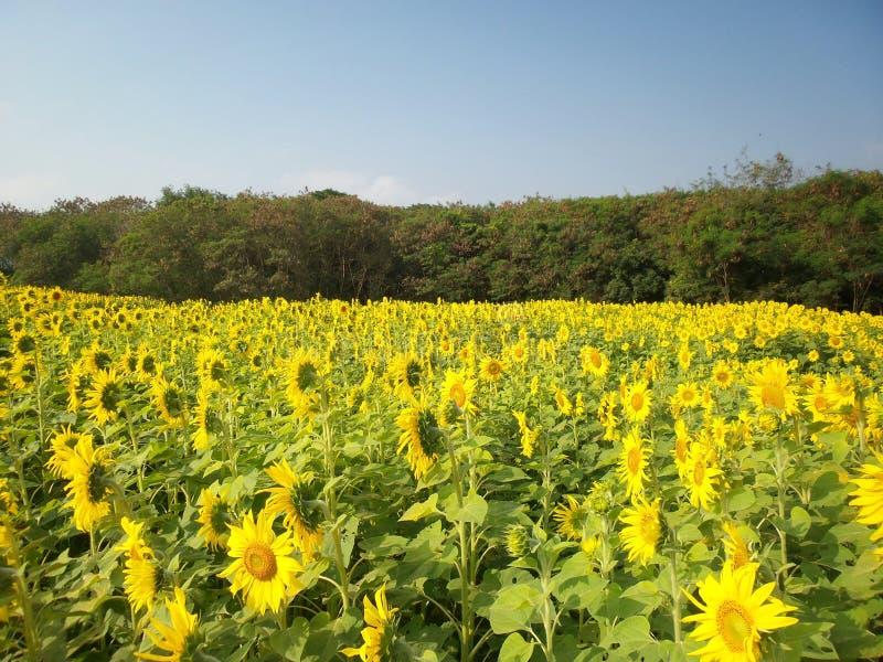 Download Solrosor i sommar fotografering för bildbyråer. Bild av green - 37349341