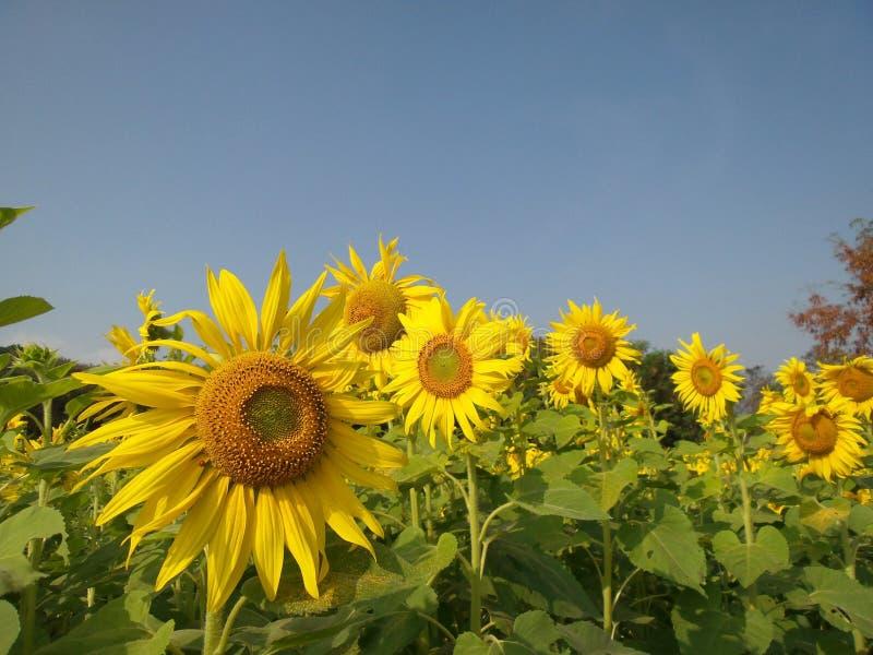 Download Solrosor i sommar fotografering för bildbyråer. Bild av blomma - 37349937