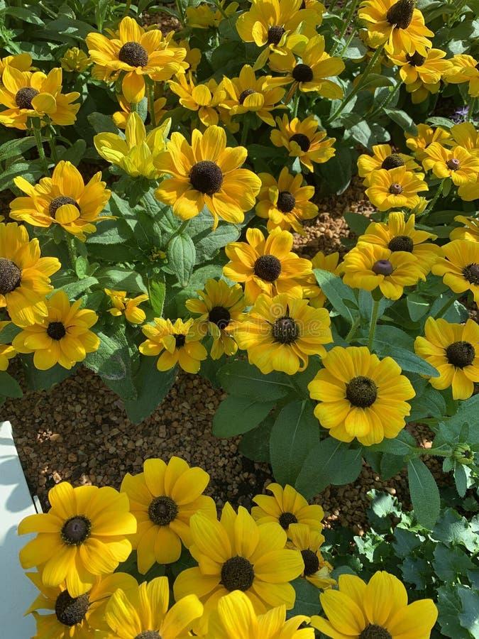 Solrosor i trädgårdsäng royaltyfria bilder