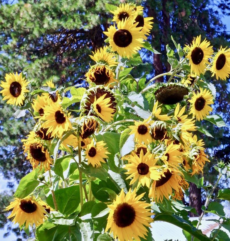Solrosor monteringshuv, Oregon royaltyfria foton