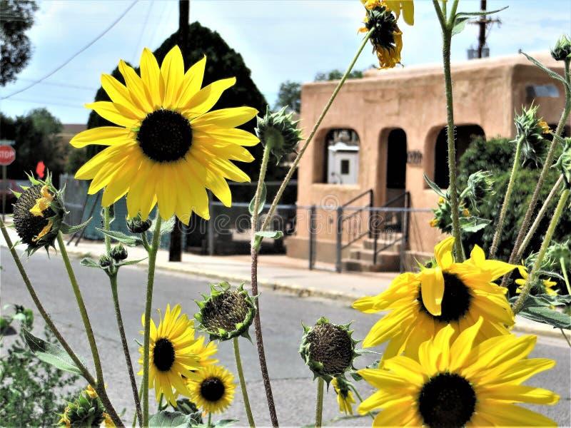 Solrosor och Adobehus, Santa Fe som är ny - Mexiko royaltyfria foton