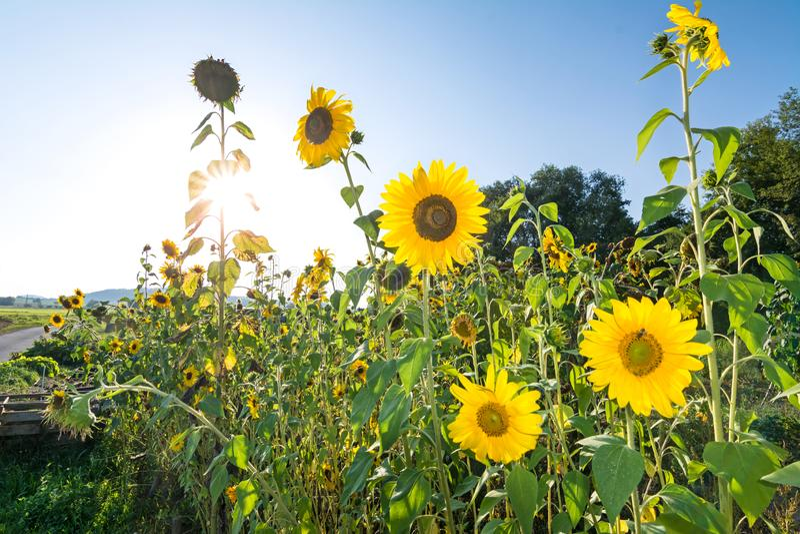 Solrosor på en varm sommardag royaltyfria bilder