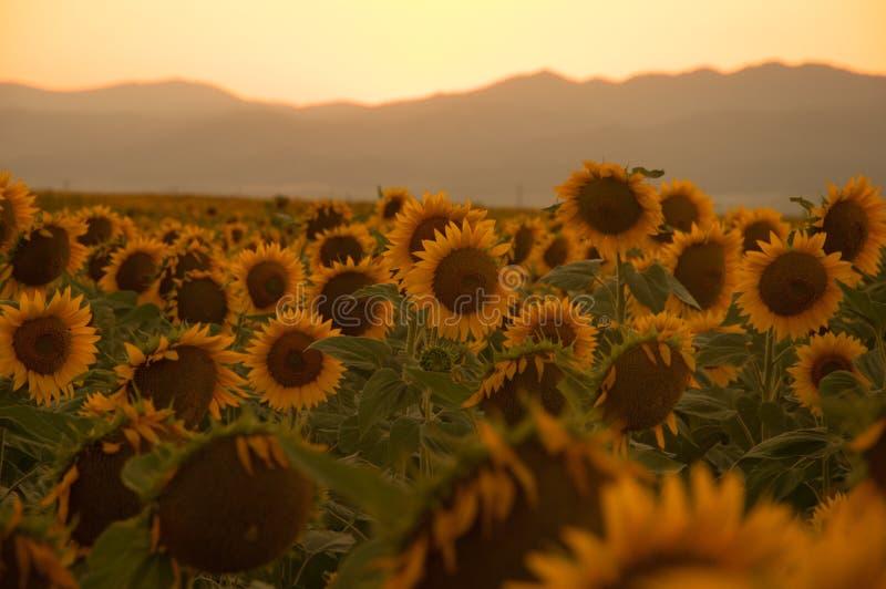 Solrosor på solnedgången royaltyfria foton