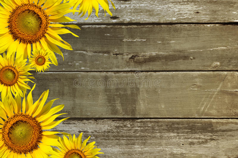Solrosor på träbakgrund royaltyfri foto