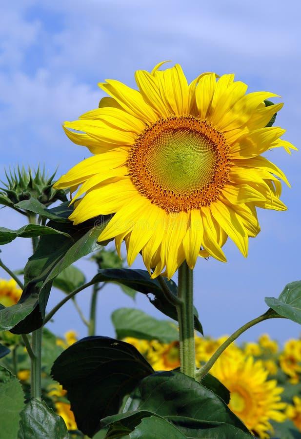 Solrosor under blomning arkivfoto