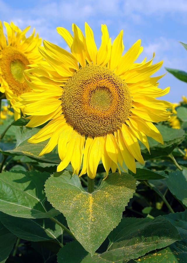 Solrosor under blomning royaltyfria foton