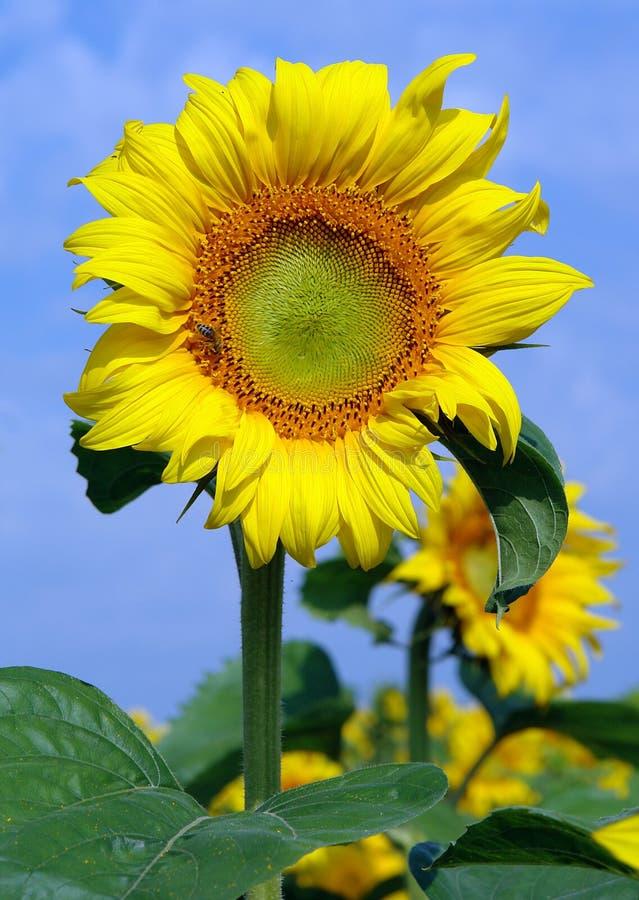 Solrosor under blomning fotografering för bildbyråer