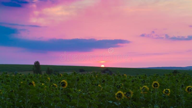 Solrosor vänder deras gula blommor till gryningen, sol syns i horisonten, försommarmorgonen i ett lantgårdfält, fritt utrymme royaltyfri fotografi
