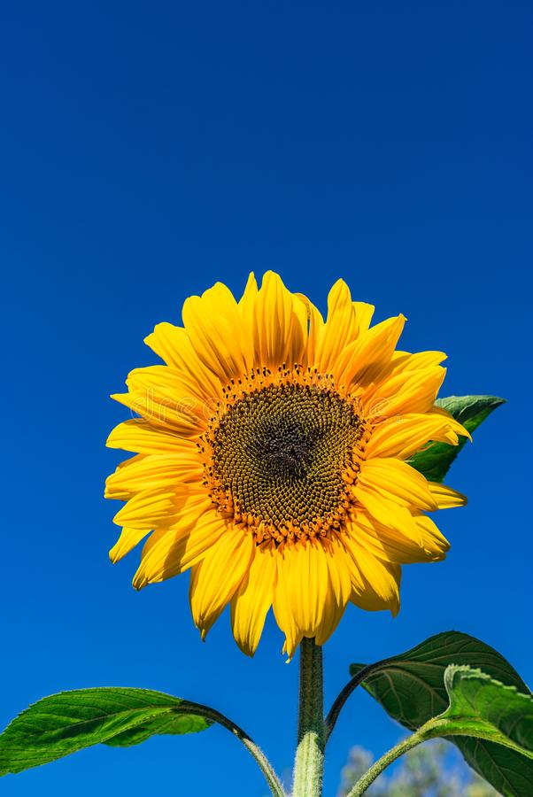 Solrosskenguling mot blå himmel royaltyfria foton