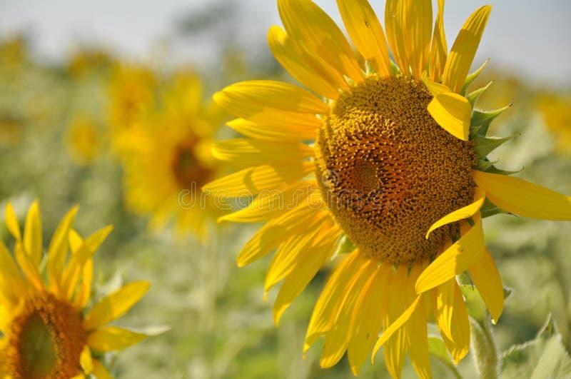 Solrosträdgård Solrosor har överflödande vård- fördelar Solrosolja förbättrar hudhälsa och främjar cellregenerering arkivbilder