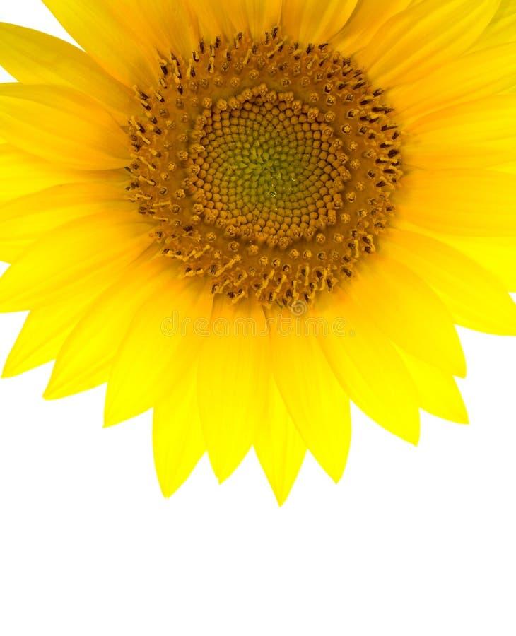 Solrosvertical Arkivfoton