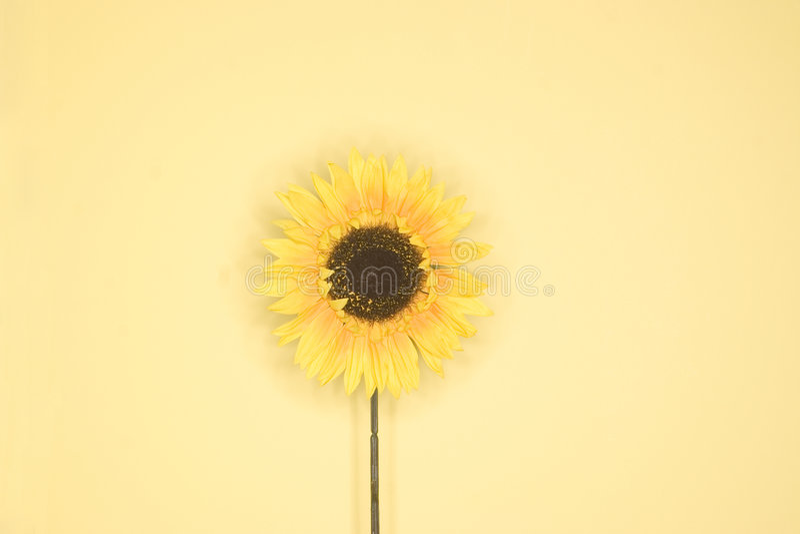 solrosyellow royaltyfria foton