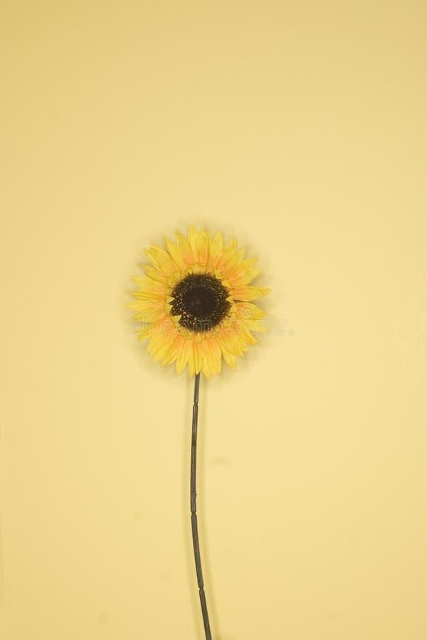 solrosyellow fotografering för bildbyråer