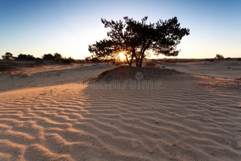 Solsken sörjer igenom trädet och sanddyn fotografering för bildbyråer