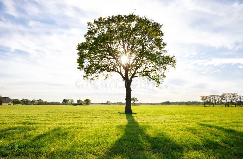 Solsken till och med den ensamma eken på grön äng royaltyfria bilder