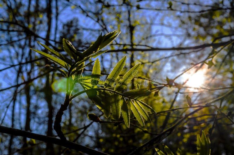 Solsken till och med filialerna på sidorna av rönnen, angenäm ilsken blick och ljus till och med filialerna av träd arkivbild