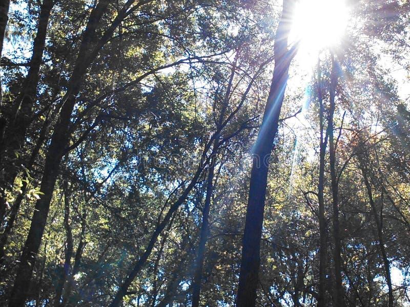 Solsken till och med träden royaltyfria foton