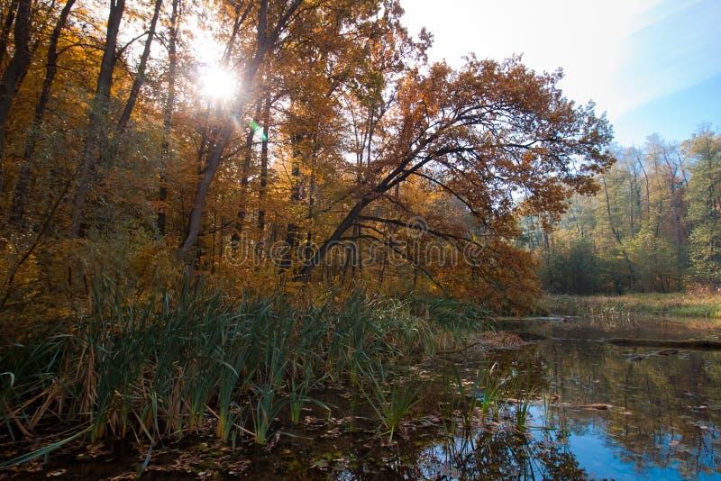 Solsken till och med trädet på en kall Oktober morgon, gömd fjärd av en skogsjö, klar blå himmel med trädreflexioner arkivfoton