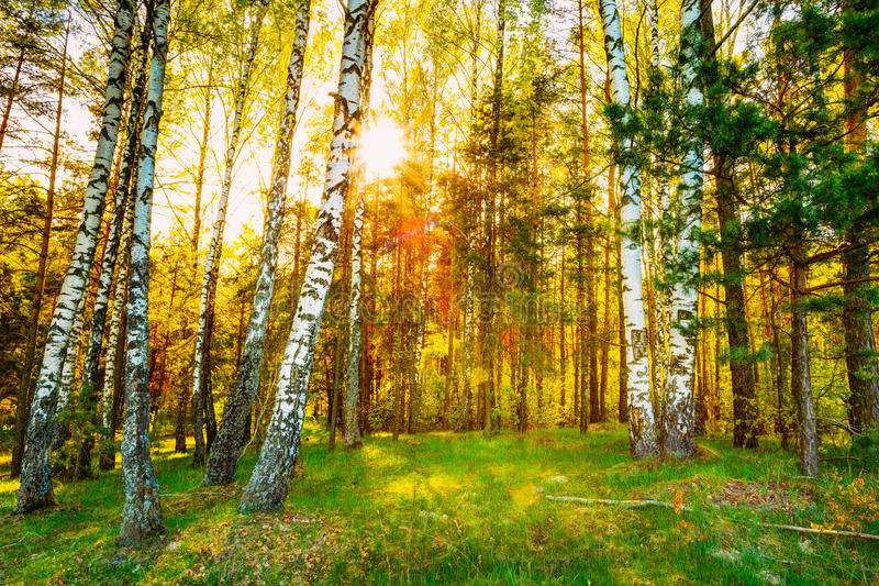 Solskensolnedgångsoluppgång i den härliga björken Forest In Summer Seas royaltyfria bilder