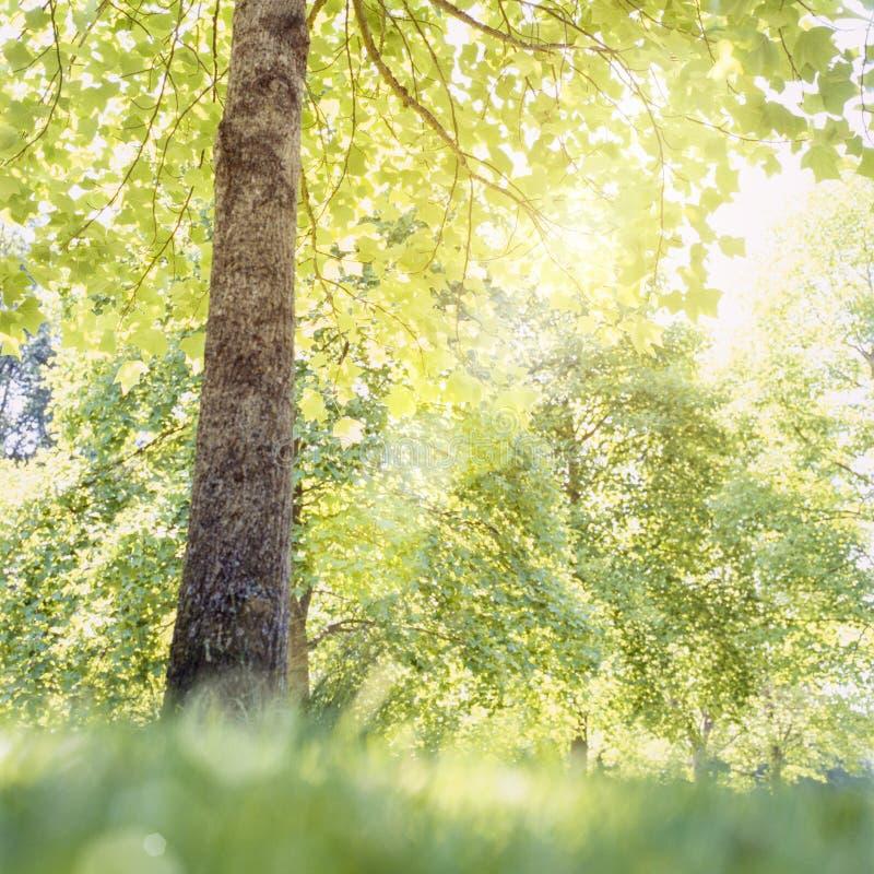 Solsolljus som skiner till och med filialer och gröna sidor av träd på en solig dag Vår- och sommarnaturbakgrund royaltyfri bild
