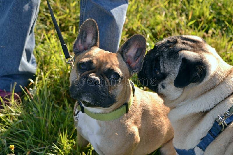 Solsting hälsa av husdjur i sommaren Ung mops-hund och fransk bulldogg Hur man skyddar din hund från överhettning Utbildning av g royaltyfria bilder