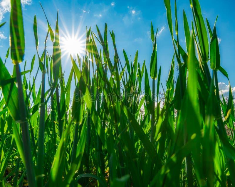 Solstjärna över grönt gräs royaltyfria bilder