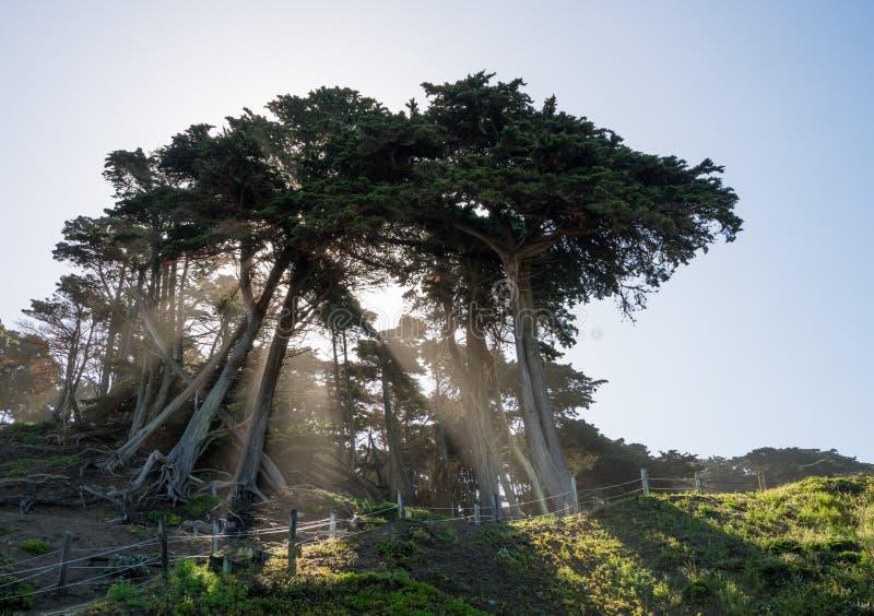 Solstrålar från stort sörjer eller granträd på kust av San Francisco Bay royaltyfri foto