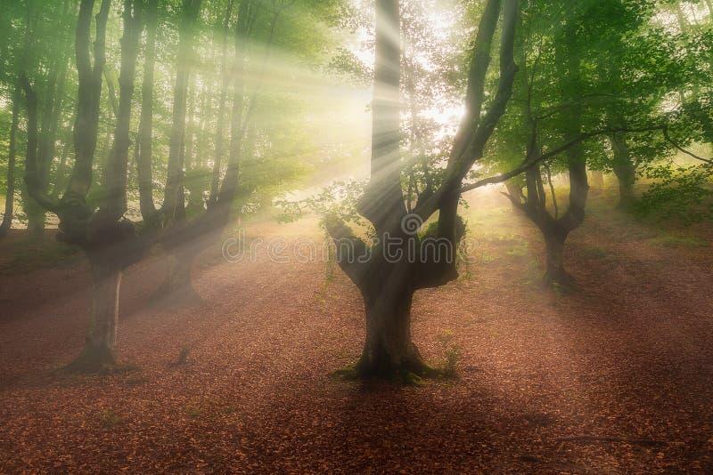 Solstrålar i den Otzarreta skogen arkivbilder