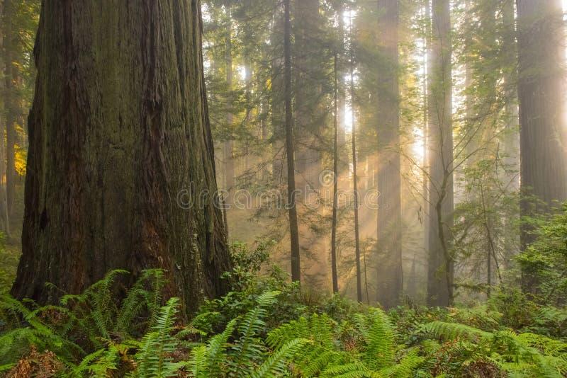 Solstrålar i redwoodträdskog royaltyfri bild
