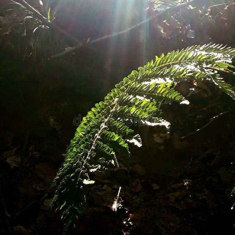 solstrålar på ormbunken arkivfoton