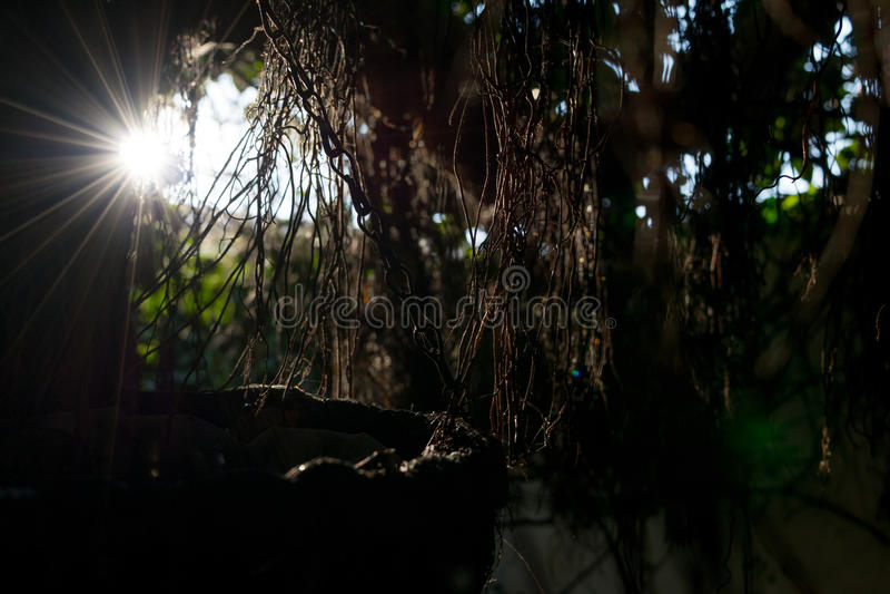 Solstrålar som skiner till och med filialerna och sidorna, solstrålarna till och med de torra filialerna av trädet plats med käns arkivbilder