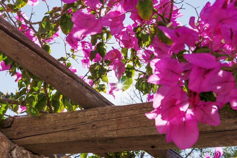 Solstrålar som skiner till och med purpurfärgade blommor av buskebougainvillean arkivfoto