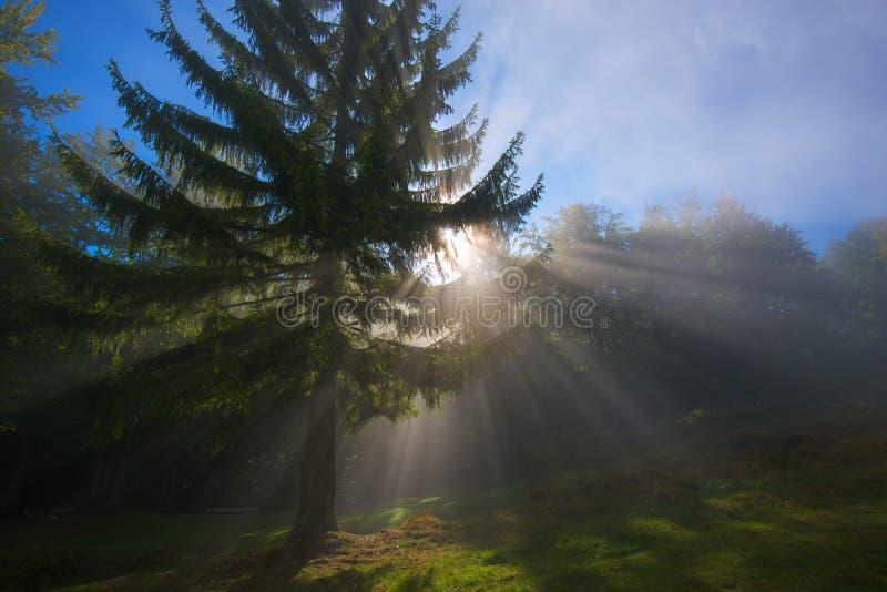 Solstrålar som tränger igenom morgonmist - plats i skog arkivbild