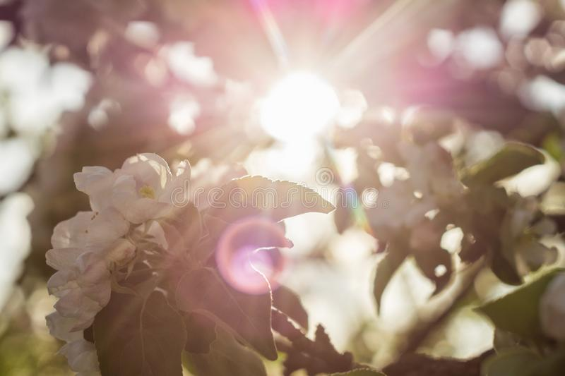 Solstrålar till och med en blomstra äppleträdfilial fotografering för bildbyråer