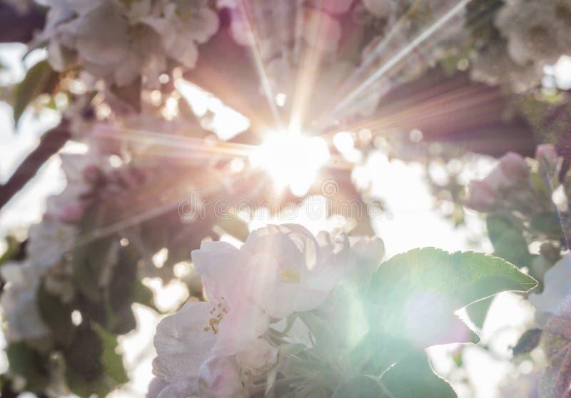 Solstrålar till och med en blomstra äppleträdfilial arkivfoto