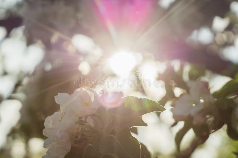 Solstrålar till och med en blomstra äppleträdfilial royaltyfria foton