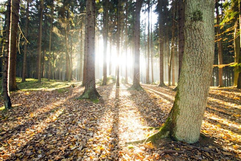 Solstrålar till och med höstskogen arkivfoto