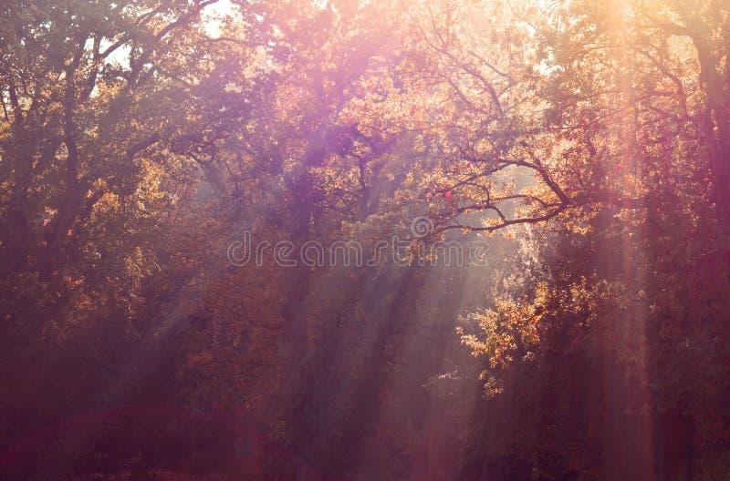 Solstrålar till och med höstträd royaltyfri foto